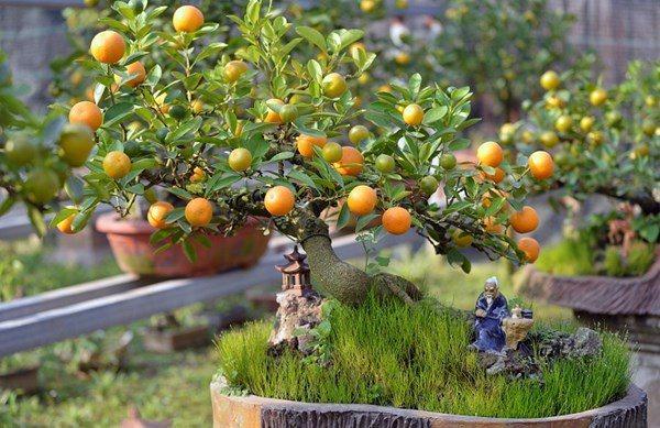 Cây cam, chanh, quất