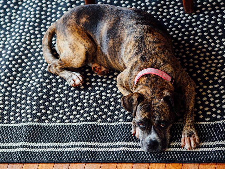 Con chó nằm trên một tấm thảm.