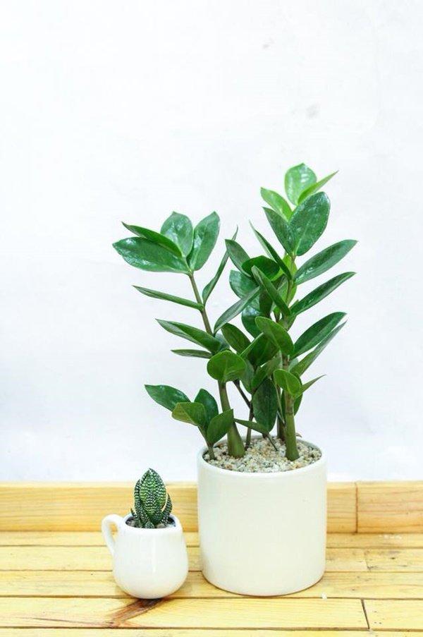 Tuổi Dậu hợp cây gì? Năm 2020 trồng cây gì trong nhà để được may mắn cả năm? - 8